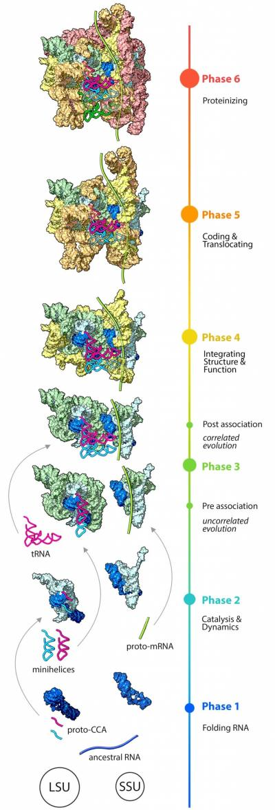 The evolution of the ribosome, illustrating growth of the large (LSU) and small (SSU) subunits, separately at first and eventually as parts of a whole